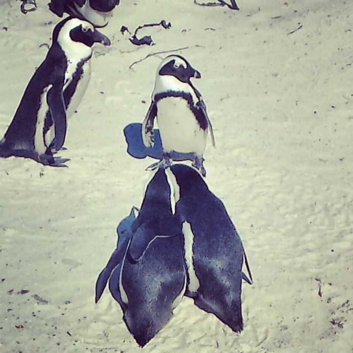 Observe penguin love in action